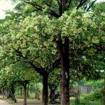 Enam Pohon Pule Peneduh Mengering, Diduga Sengaja Disiram Solar